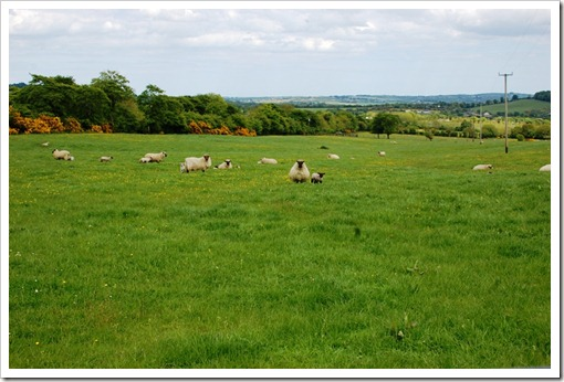 lambs field